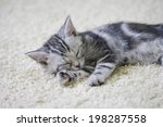 Stock photo an image of american shorthair 198287558