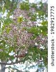 Blossom Of Melia Azedarach ...