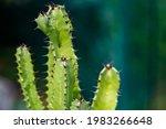 Wild Growing Cactus Closeup ...
