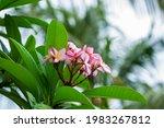Flowering Pink Frangipani...