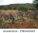 Zebra Strolling Along While...