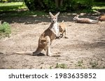 Cheerful Kangaroo Looking Into...
