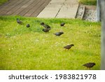Starlings Searching For The...