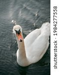 Mute Swan Swimming In The Lake. ...