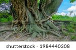 An Ancient Birch Tree With Huge ...