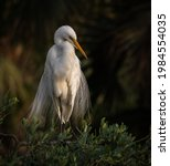 Great Egret On A Nest In...