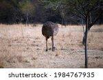 Grey Female Adult Ostrich...
