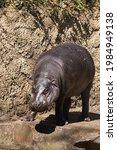 A Hippopotamus  Hippopotamus...