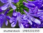 Purple Agapanthus Flower...