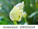 White Agapanthus Buds Close Up