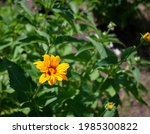 Bright Yellow Heliopsis Flowers ...