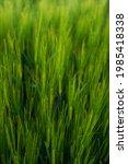green rye fields  shallow depth ...   Shutterstock . vector #1985418338