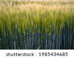 green rye fields  shallow depth ...   Shutterstock . vector #1985434685