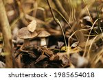 Beautiful Edible Mushroom With...