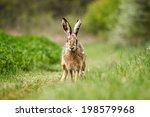 Stock photo european hare lepus europaeus on the green field 198579968