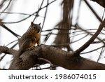 Fox Squirrel Resting In A Pecan ...