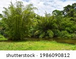 Bamboo Trees Reflect Onto The...
