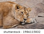 A Powerful Lioness Is Resting...