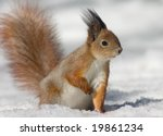 Red squirrel on the snow looking to the right - stock photo