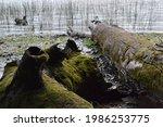 Detail Of Dead Tree Trunks...