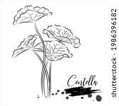 herbal  centella  medical plant ... | Shutterstock .eps vector #1986396182