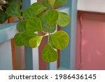 Mistletoe Fig  Mistletoe Rubber ...