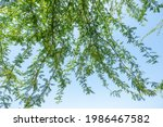 Gum Arabic Tree Branches In...
