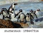 African Penguins  Spheniscus...