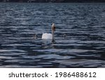 Swan Parent Swimming With Two...