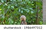 An Eastern Fox Squirrel Chewing ...