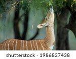 Photo Of A Nyala Antelope