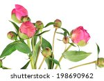 beautiful peonies isolated on... | Shutterstock . vector #198690962