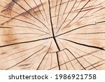 Tree Trunk Texture. Cross Cut...