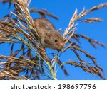 Harvesting Mouse climbing in Reed, it's natural habitat - stock photo
