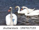 Beautiful Waterfowl Swans In...
