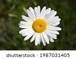 Blossoming Oxeye Daisy  Top...