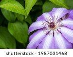 Beautiful Blooming Clematis...