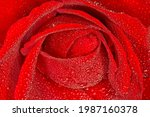 Close Up Of Red Rose Covered...