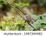 White Crowned Sparrow ...