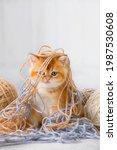 Small Tabby Ginger Kitten...