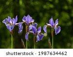 Lot Of Irises. Violet Iris...