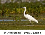 The Little Egret Standing In A...