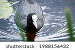 Male Of Eurasian Coot Bird ...
