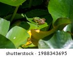 Tiny Frogs On Lotus Leaves In...