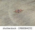 Small photo of A crab foetus on the Manzanilla Beach, Trinidad and Tobago