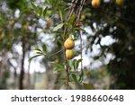 Nutmeg Hanging On A Nutmeg Tree