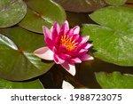 Lotus Flower On Green Leaves....