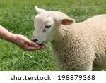 A Lamb Being Fed By Hand.
