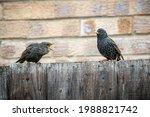 Juvenile Starling  Sturnus...