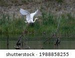 Great Egret Flying Over Wetland....